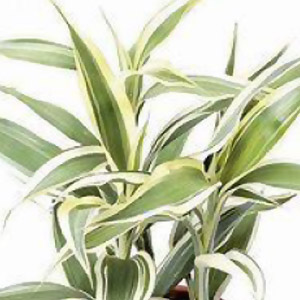 Download plant care instructions for Dracaena sanderiana