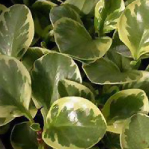 Download plant care instructions for Peperomia