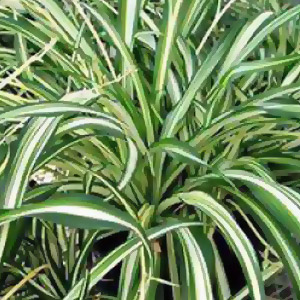Download plant care instructions for Spider Plant