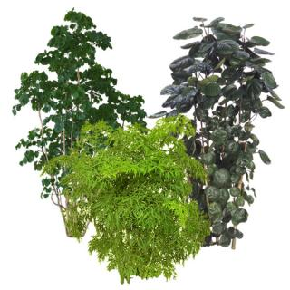 Assortment of Aralia indoor tropical plants