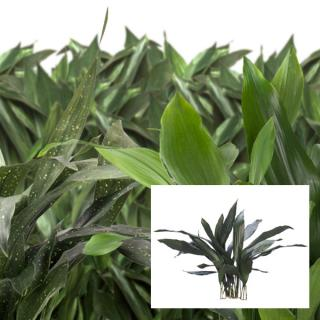 Aspidistra Cast Iron Plant selected varieties