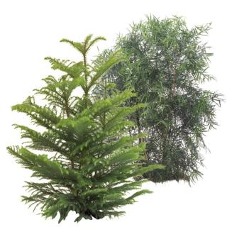 Conifers selected varieties