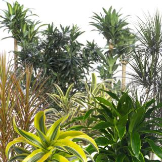 Assorted species and varieties of Dracaena indoor tropical plants