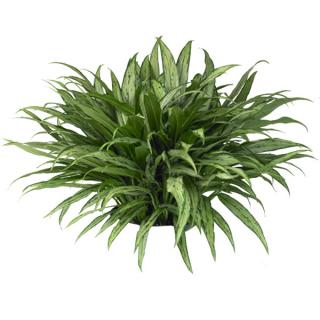 Aglaonema or Chinese evergreen 'cutlass'