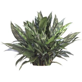 Aglaonema or Chinese evergreen 'English Beauty'
