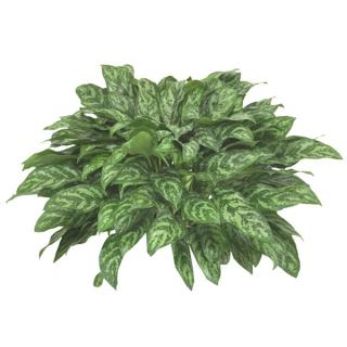 Aglaonema or Chinese evergreen 'Mary Ann'