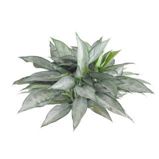 Aglaonema or Chinese evergreen 'Silverado'