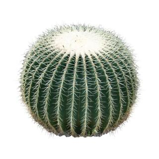 Barrel Cactus Indoor Plant
