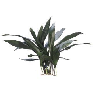 Cast Iron Plant 'Aspidistra elatior'