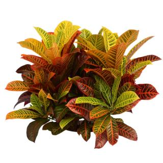 Croton 'Super California'