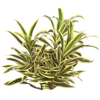 Dracaena reflexa variegata 'Song of India'