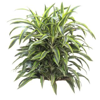 Dracaena warneckii 'Lemon Lime'