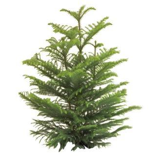 Norfolk Island Pine 'Araucaria heterophylla'