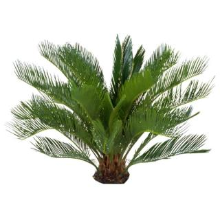 Cycad Sago Palm - Cycas revoluta